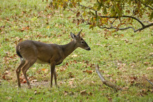 Young Male White-tailed (white-tail) Deer In Cades Cove, Great Smoky Mountains National Park, Tennessee