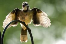 Underside Of A Bluejay Bird.