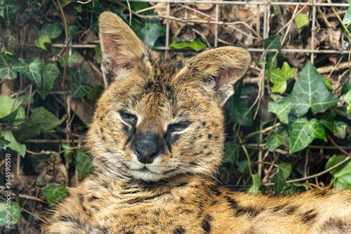 Portrait of a serval (leptailurus serval) in captivity Fototapet