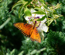 Gulf Fritillary Butterfly On Passionflower