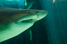 Ragged Tooth Shark, Two Oceans Aquarium, Cape Town, South Africa