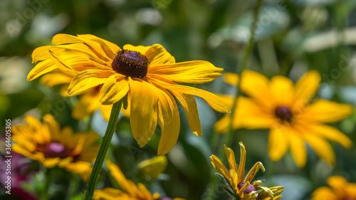 Fototapeta Yellow black eyed Susan plant flower