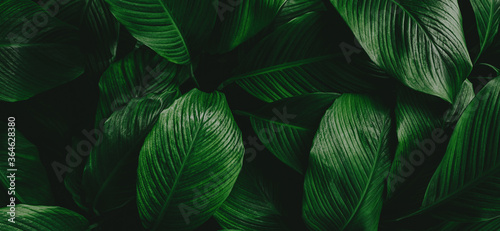leaves of Spathiphyllum cannifolium, abstract green texture, nature background, Fotobehang