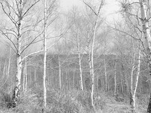 Silver Beech Forest On The Out...
