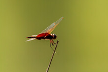 Red Dragonfly With Clear Wings...