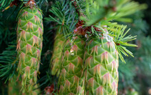Pine Cones Hang On A Douglas Fir Tree, New Growth In Clusters, Light Green And Pink Patterns, Pine Needles, Fir Branches And Close Ups On The Cones.