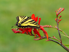 Western Tiger Swallowtail Butterfly On Red Crocosmia Flowers (Papilio Rutulus)