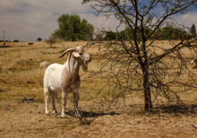 White Billy Goat Browsing On A...