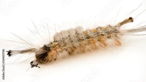 The Caterpillar Of The Tussock Moth Canvas-taulu