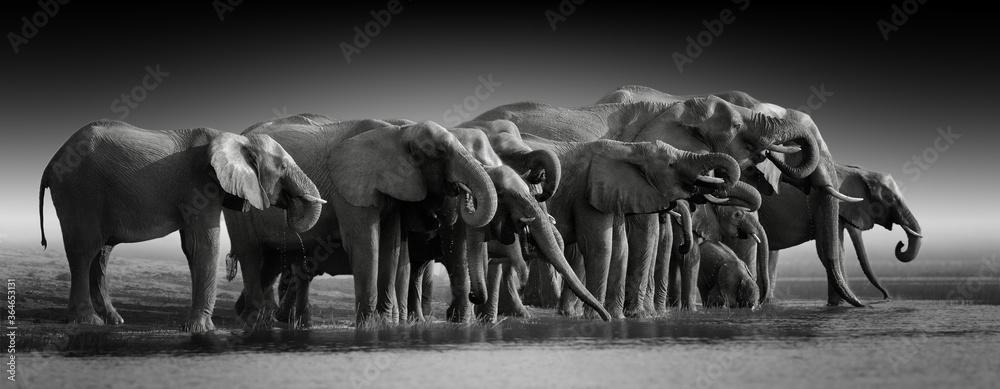 Fototapeta Fine art, black and white, panoramic photo of an african elephants herd against dark background, standing on the bank of river Chobe, drinking water. Botswana safari.