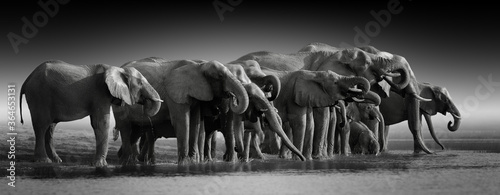 Obraz na plátně Fine art, black and white, panoramic photo of an african elephants herd against dark background, standing on the bank of river Chobe, drinking water