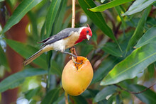 A Red Crested Cardinal Bird Sc...