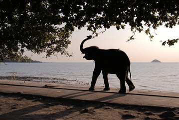 An elephant calf taking a casual stroll along a tropical beach