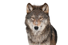 Wolf Isolated On White Backgro...