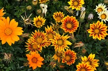 Fleurs Gazania Très Colorées.