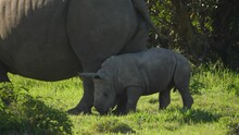 Baby White Rhino Playfully Nudging Its Mother's Legs In A Cute, Funny Safari Moment, Close-up, Profile Shot.