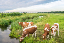 Cows Are Drinking From A Ditch Filled With Water In The Dutch Polder Landscape