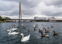 Swans And Geese On Southport M...