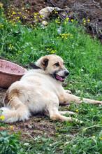 Anatolian Shepherd Dog, Resting In The Garden.