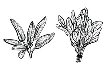 Sage Leaves Isolated On A Whit...