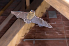 Pipistrelle Bat Flying Inside Building
