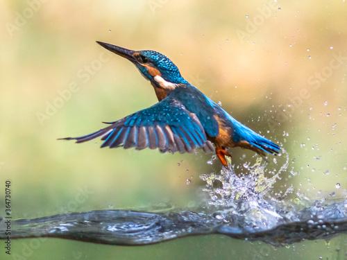 Obraz na plátně Common European Kingfisher emerging abstract