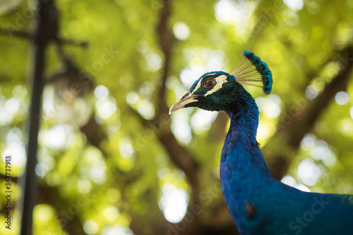 Close-up of a beautiful and colorful peacock in Zanzibar, Tanzania