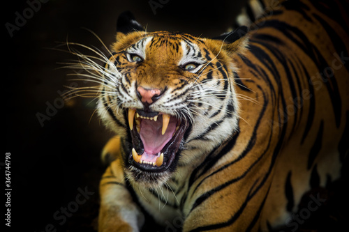Fototapety, obrazy: The tiger roars and sees fangs preparing to fight or defend.