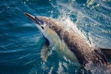 A Common Dolphin Bow-rides Alo...