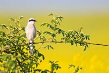 A Male Red-backed Shrike (Lani...