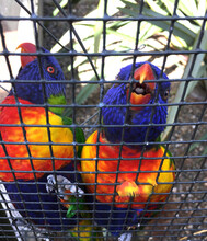 Two Macaws In A Cage