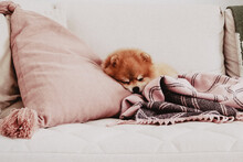A Pomeranian Dog Is Sleeping On The Couch Covered With Blanket And Among Pillows