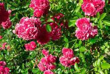 Climbing Roses. Garden Roses A...