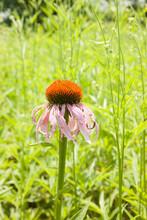 Purple Cone Flower In The Sunshine