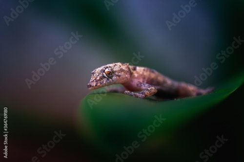 Fotografija Macro closeup shot of a tiny brown gecko lying on a green leaf