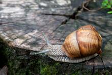 Burgundy Snail (Helix Pomatia) Or Escargot In Natural Environment