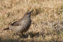 Arrow-marked Babbler (Turdoide...