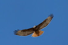 Red Tailed Hawk In Flight Full...