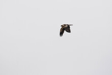 Booted Eagle Flying