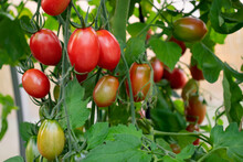 Group Of Oblong Tomatoes Ripen...
