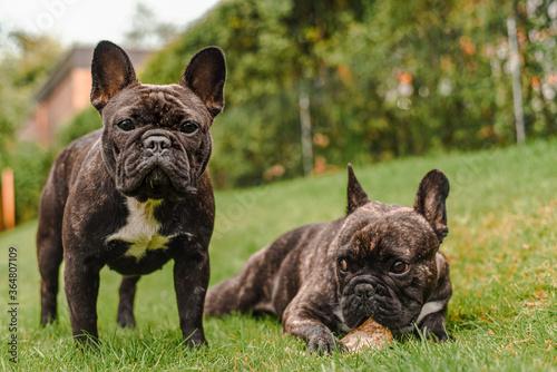 Obraz French Bulldogs: I see you - fototapety do salonu