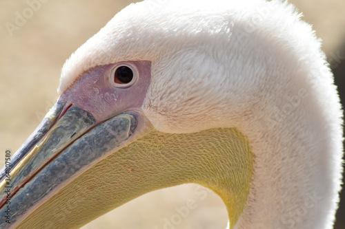 Fototapeta Kolorowa głowa pelikana na rozmytym tle. obraz