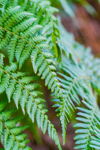 Closeup of fern leaves with soft focus on a sunny day.