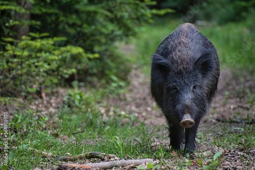 Leinwand Poster Wildschwein im Wald