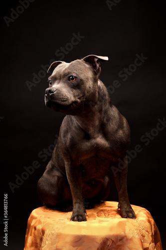 Fototapeta Staffordshire Bull Terrier Puppy Dog on dark studio background obraz