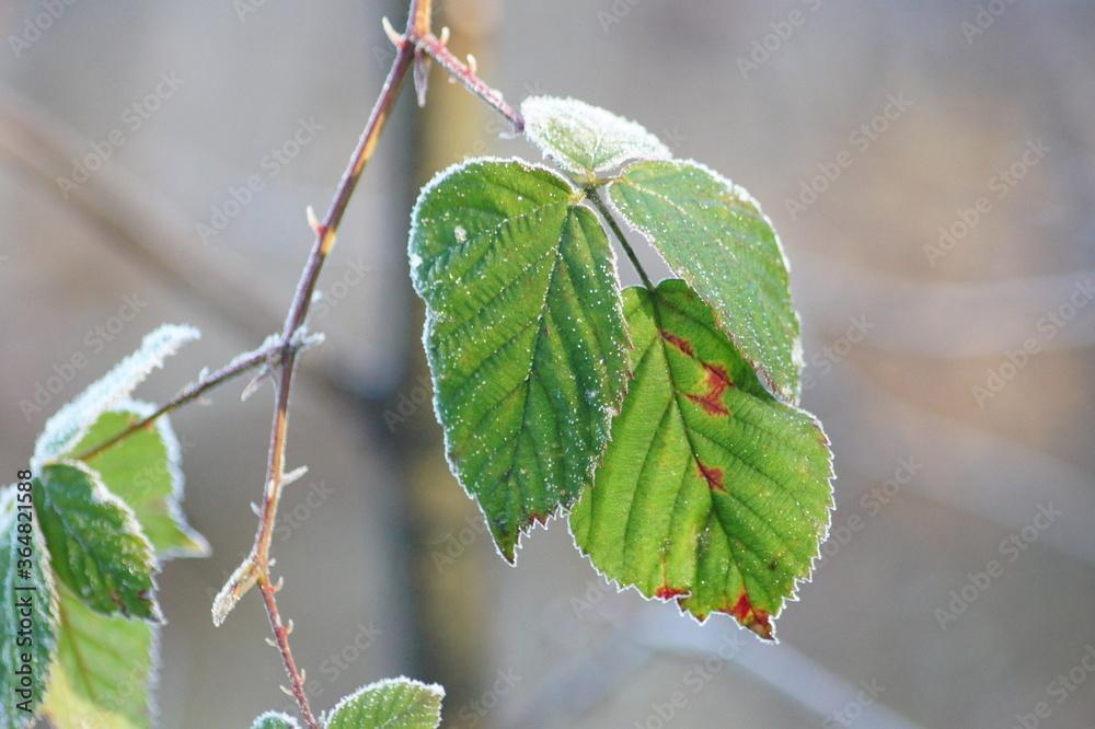 Fototapeta Zamarznięty liść jeżyny