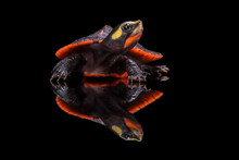 Reflection Of A Red-bellied Tu...