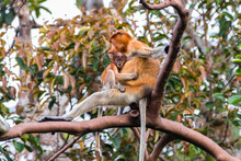 Female Proboscis Monkey And Her Infant In A Tree, Indonesia