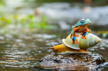 Frog Sitting On A Snail On A Rock, Indonesia