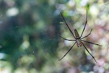 A Selective-focus Macro Image Of A Female Nephila Pilipes (northern Golden Orb Weaver Or Giant Golden Orb Weaver) - A Species Of Golden Orb-web Spider - Hanging In It's Web, With Dappled Light Behind.